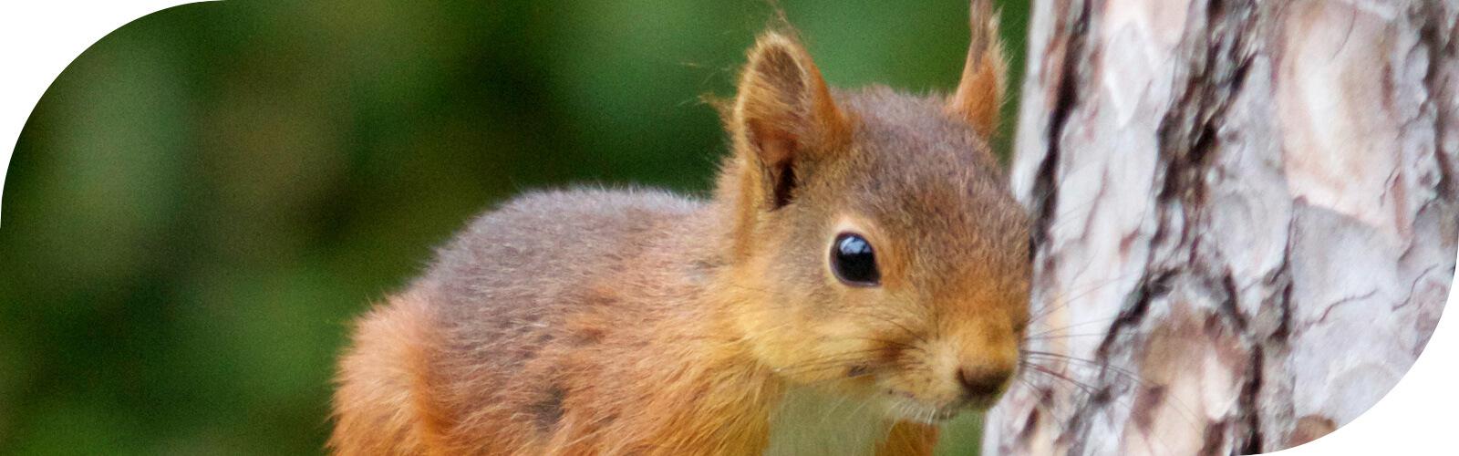Een Eekhoorn in de tuin, wie wil nu niet zo'n knaagdier met zo'n hoog knuffelgehalte...