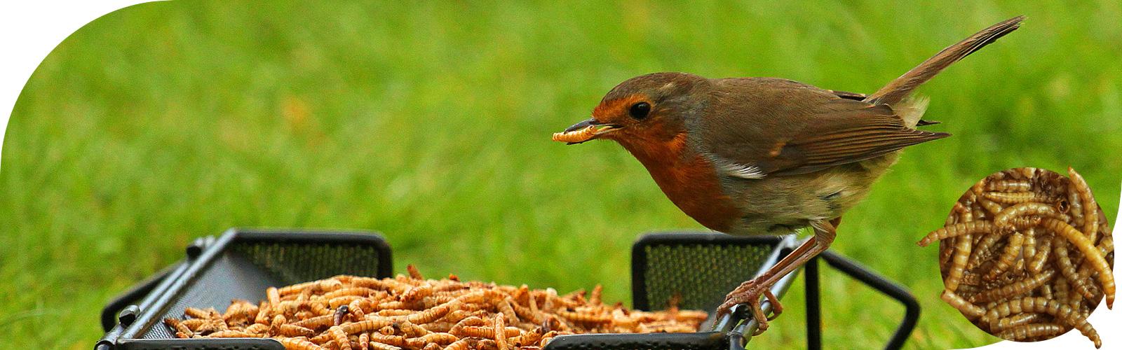 Meelwormen - Vogels kunnen deze delicatesse niet weerstaan