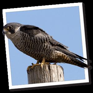 Slechtvalk (Falco peregrinus)