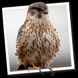 Smelleken (Falco columbarius)