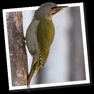 Grijskopspecht (Grauwe specht) (Picus canus)
