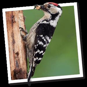 Kleine bonte specht (Dendrocopos minor)