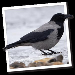 Bonte kraai (Corvus cornix)