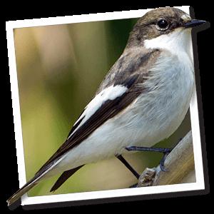Bonte vliegenvanger (Ficedula hypoleuca)