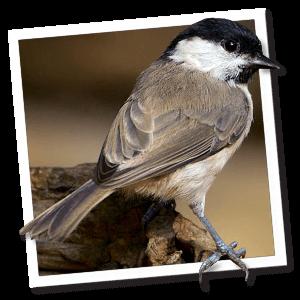 Glanskop (Poecile palustris)