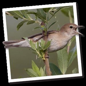 Tuinfluiter (Sylvia borin)